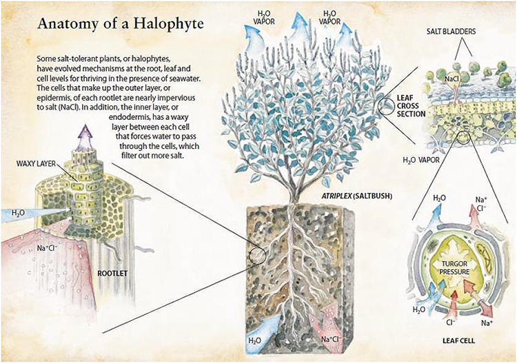 Anatomy of Halophyte - Infograph